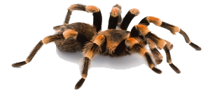 Ratgeber Vogelspinnen