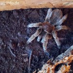 Grammostola-rosea-rote-chile-vogelspinne-3
