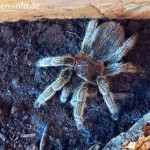 Grammostola-rosea-rote-chile-vogelspinne-4
