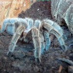 Grammostola-rosea-rote-chile-vogelspinne-6