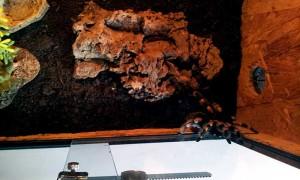 mexikanische rotknie vogelspinne